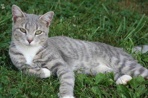 bengal cat kittens